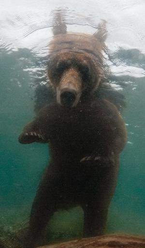 bear-swimming