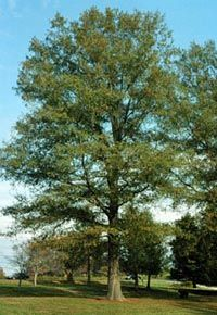 willow-oak